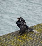 Cormorant on pier Stock Photography