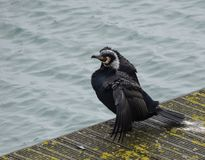 Cormorant on pier Stock Photo