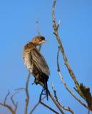 Cormorant pigmeo sull'albero Fotografie Stock Libere da Diritti