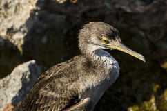 Cormorant portrait Royalty Free Stock Images