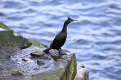 Cormorant portrait fishing. Cormorant portrait, close up fishing Royalty Free Stock Image