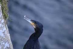Cormorant portrait fishing. Cormorant portrait, close up fishing Royalty Free Stock Photo