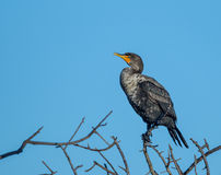 Cormorant poses on branch Royalty Free Stock Image