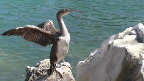 Cormorant 124015 15 stock video footage