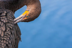Cormorant Preening. In Everglades National Park, Florida Royalty Free Stock Images