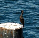 Cormorant Preening Royalty Free Stock Photography
