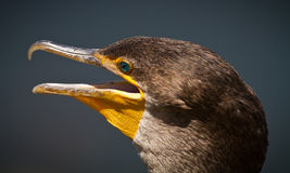 Cormorant profile close up Royalty Free Stock Images