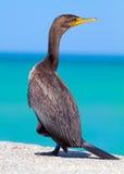 Cormorant Profile Stock Photos