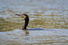 Cormorant. Profile portrait of a isolated black cormorant swimming on lake in sunshine Royalty Free Stock Photography