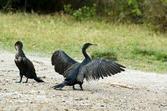 Cormorant répandant ses ailes pour sécher les plumes images stock