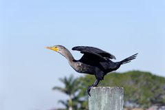 Cormorant Ready for Flight Stock Photo