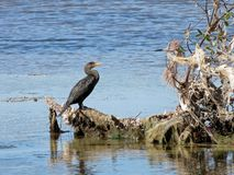 Cormorant and Reddish Egret Birds stock photo