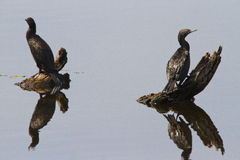 Cormorant Reflections Royalty Free Stock Image