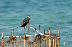 A Cormorant resting on fishing net Royalty Free Stock Photography