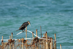 A Cormorant resting on fishing net pipe Royalty Free Stock Photography