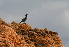 Cormorant resting on a rock Stock Photography