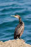 Cormorant on Rock Royalty Free Stock Photos