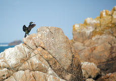 Cormorant on a rock Stock Images