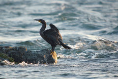 Cormorant on rock. Close-up Stock Photos