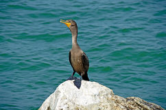 Cormorant on a rock Royalty Free Stock Photo