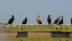 Cormorant Row Royalty Free Stock Image