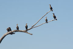 Cormorant's rest area. Several cormorants perched on a dead tree Stock Photo