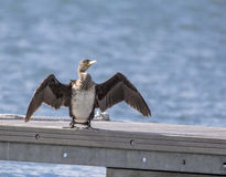Cormorant Royalty Free Stock Photo