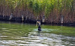 Cormorant sea bird eating an eel a series of 5 pictures Royalty Free Stock Image