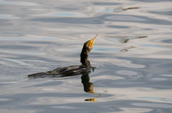 Cormorant Royalty Free Stock Image
