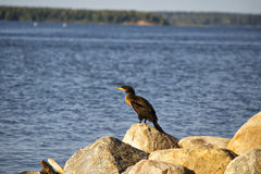 A cormorant seabird. A black cormorant seabird sitting on a big rock by the lake Stock Photo