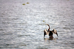 Cormorant Seabird at Vembanad Lake Bird Sanctuary Royalty Free Stock Images