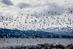 Cormorant and seagull colony on an island at Ushuaia in the Beagle Channel Beagle Strait, Tierra Del Fuego, Argentina. Cormorant and seagull colony on an island Stock Photos