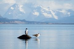 Cormorant and seagull land in a rock in Puerto Natales. Patagonia in South of Chile Stock Images