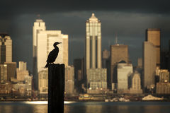 Cormorant on the Seattle Skyline Royalty Free Stock Photo
