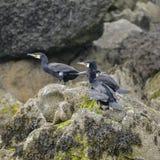 Cormorant Shag Phalacrocoracidae birds preening on rocky cliff f Royalty Free Stock Images