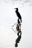 Cormorant silhouette Stock Image