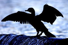 Cormorant, silhouette. Against blue water background Royalty Free Stock Photography