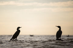 Cormorant silhouette Stock Photography