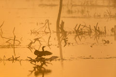 Cormorant in silhouette Stock Photography