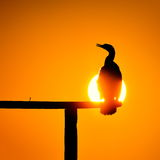 Cormorant silhouette in the sunset light Royalty Free Stock Image
