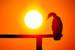 Cormorant silhouette in the sunset light Royalty Free Stock Photos