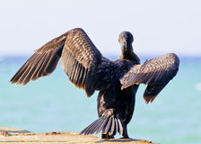 Cormorant sitting on a concrete pier spreading its wings Stock Photos