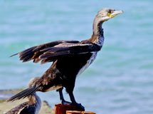 Cormorant sitting on a concrete pier spreading its wings on a sea background Royalty Free Stock Image