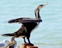 Cormorant sitting on a concrete pier spreading its wings on the sea background Stock Photography