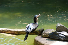 Cormorant Sitting on a Log Above Water Stock Photography