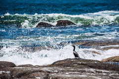 Cormorant sitting on a rock, Uruguay Royalty Free Stock Photography