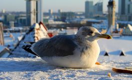 A cormorant sitting on snow royalty free stock photography