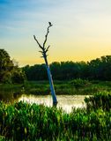 Cormorant on its Throne in a Florida Swamp. A cormorant sitting on top of a dead tree in a pond looking down on a Florida swamp with the sun lighting the sky in royalty free stock photography