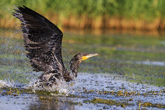 Cormorant with spread wings over water Royalty Free Stock Photos