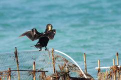 A Cormorant spreading its wings Royalty Free Stock Photos
